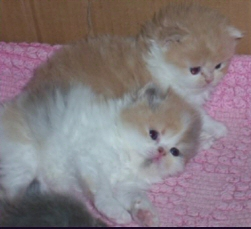 2 lovely red and white kittens